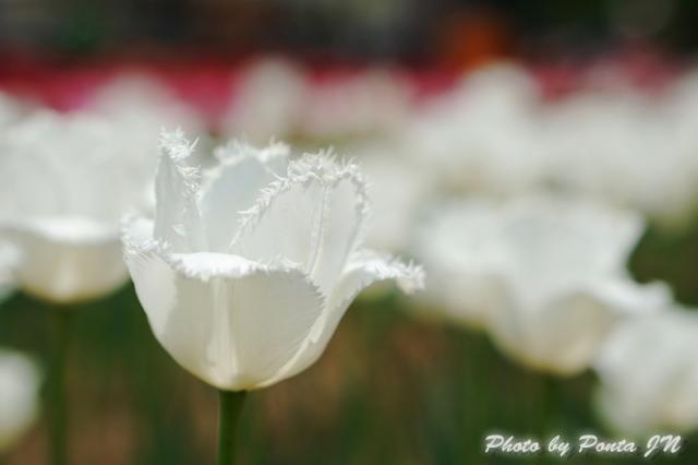 tulip14-0026.jpg