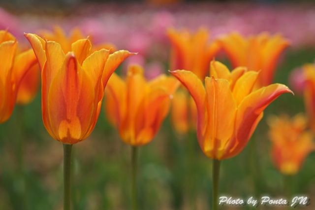 tulip14-0027.jpg
