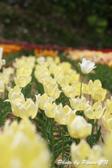 tulip14-0030.jpg
