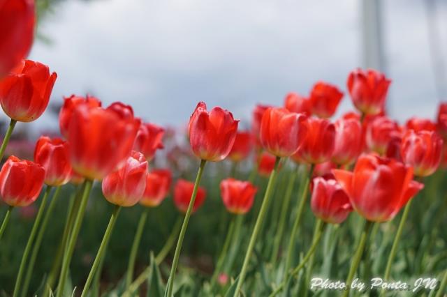 tulip14-0032.jpg