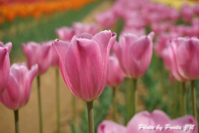 tulip14-0038.jpg