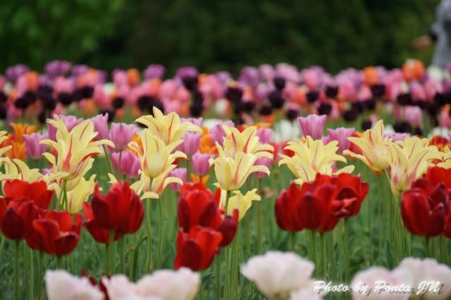 tulip14-0040.jpg