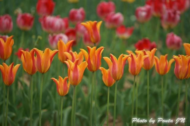 tulip14-0042.jpg