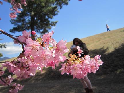 美和桜2014 2