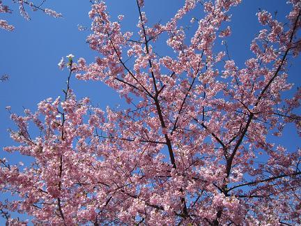 美和桜2014