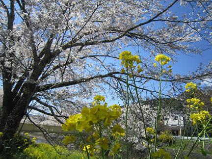 菜の花と桜2014 1