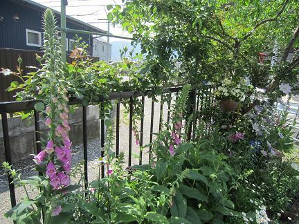 我が家の庭ジキタリス