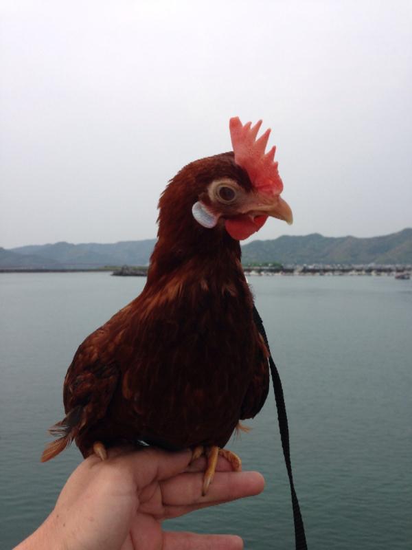 20140503日本鶏保存会03