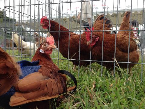 20140503日本鶏保存会05