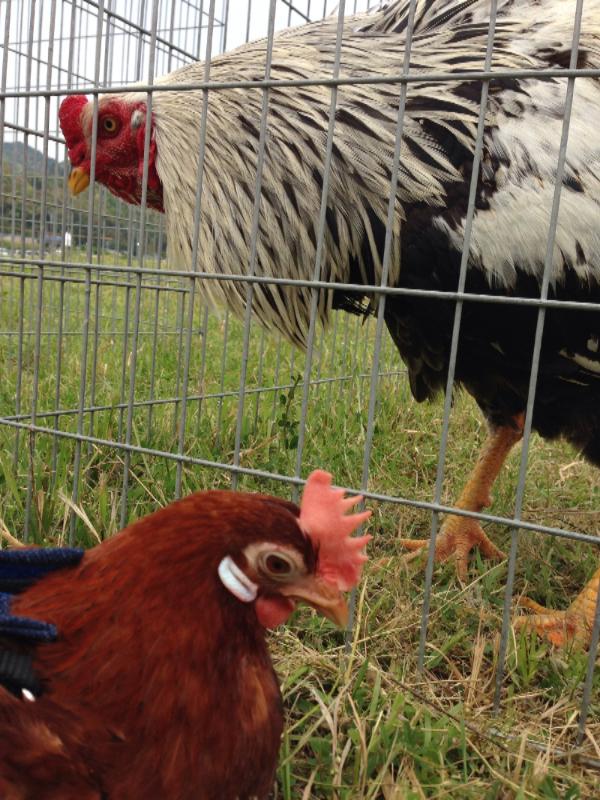 20140503日本鶏保存会07