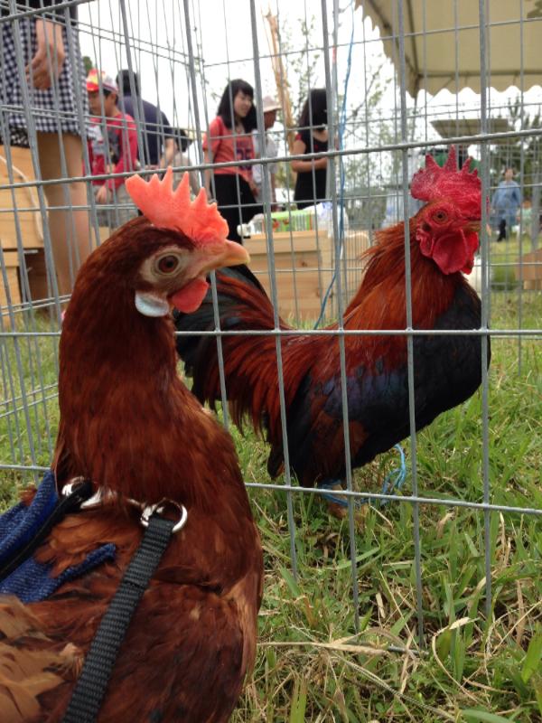 20140503日本鶏保存会08