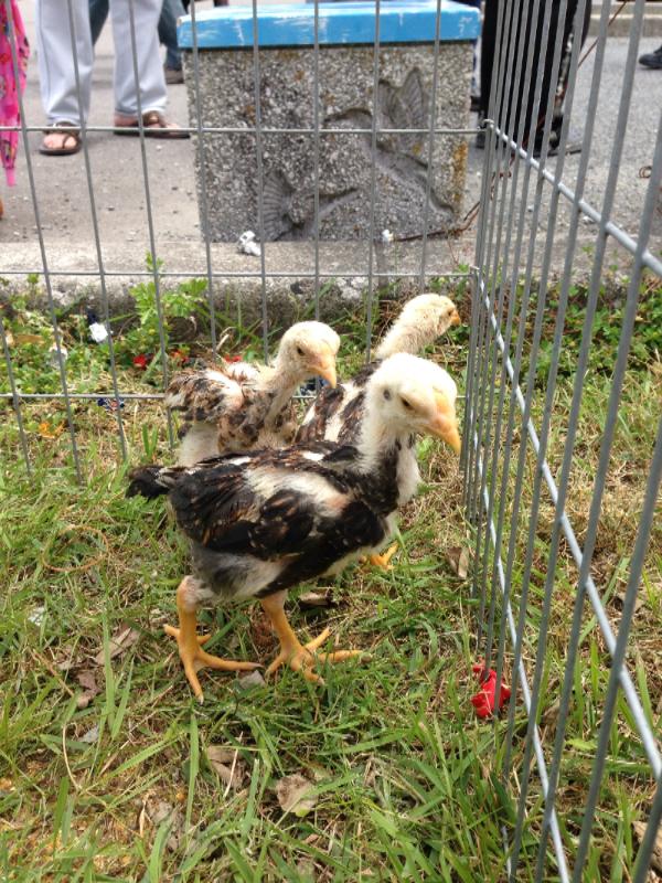 20140503日本鶏保存会12