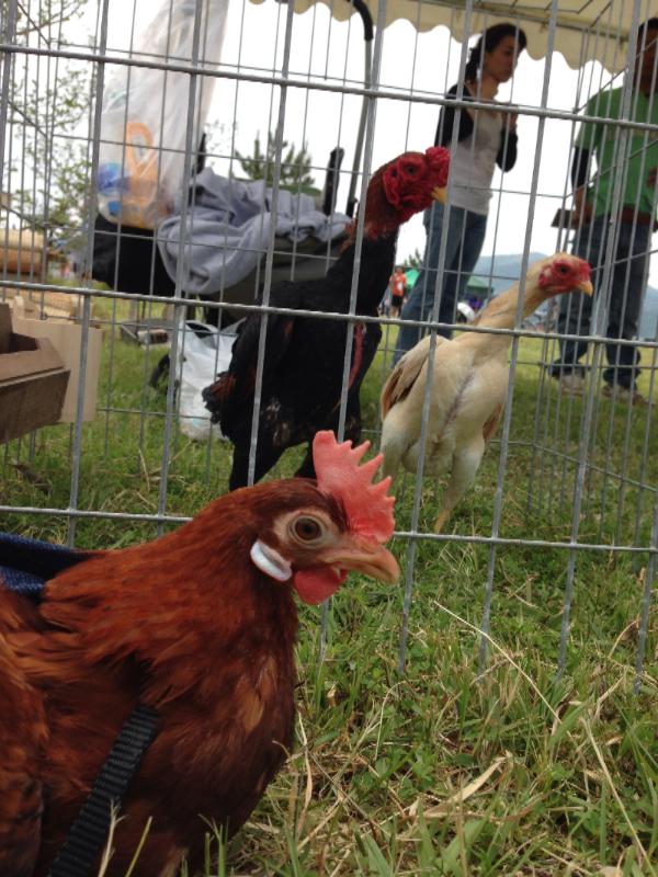 20140503日本鶏保存会14