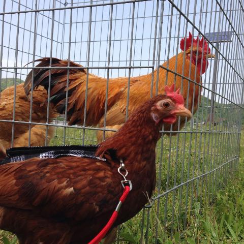 20140503日本鶏保存会16