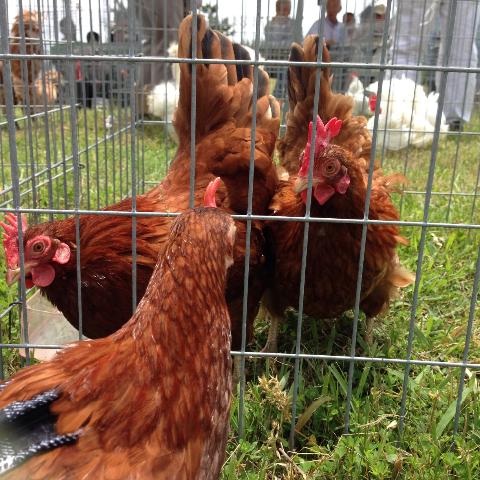 20140503日本鶏保存会18