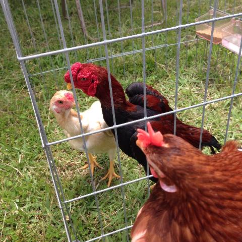 20140503日本鶏保存会21