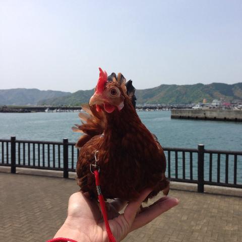20140503日本鶏保存会15