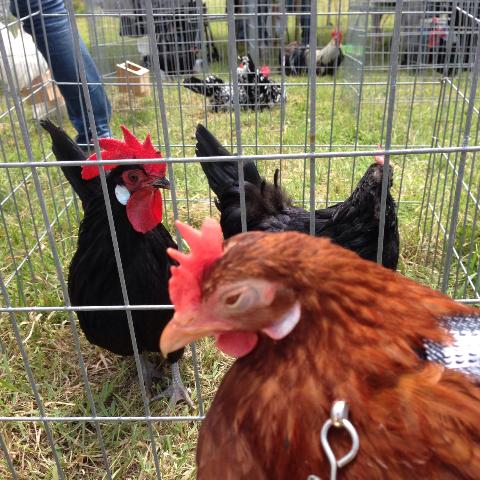 20140503日本鶏保存会25