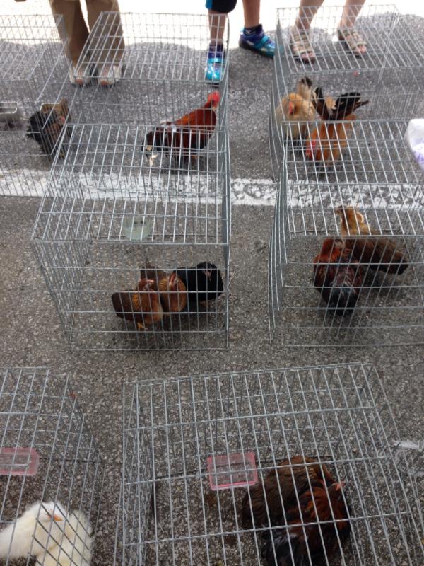 20140615日本鶏保存会02