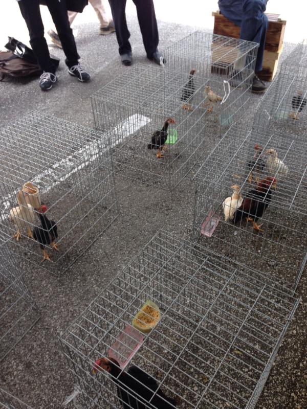 20140615日本鶏保存会03