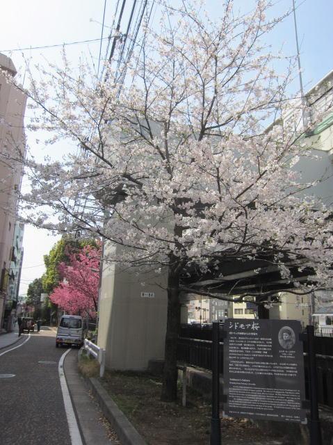 シドモア桜n11