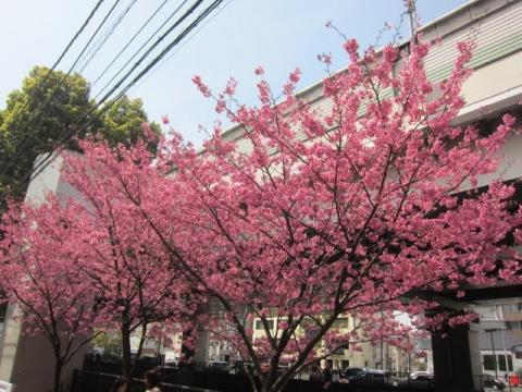 横浜緋桜n11
