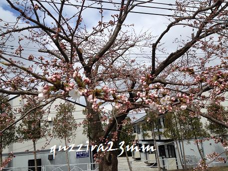 2014初桜3