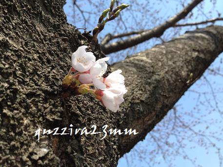 2014初桜1