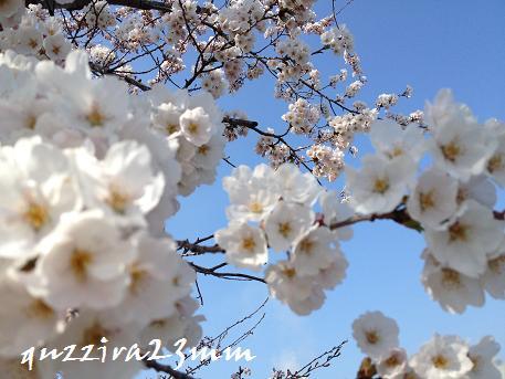 桜6日後ー3