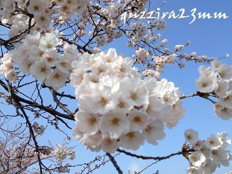 桜6日後ー2