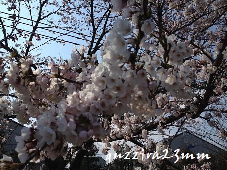 桜6日後ー1