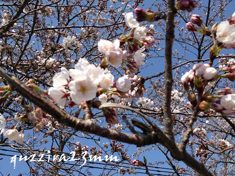 桜7日後ー4