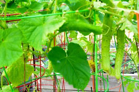 菜園の胡瓜