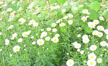 庭のディジー
