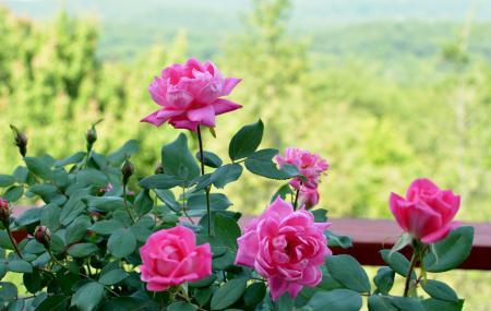 terraceのバラ