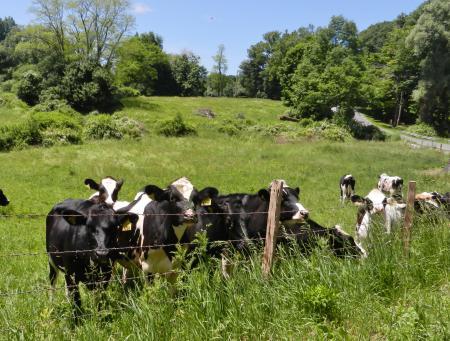 のんびり牛たちも