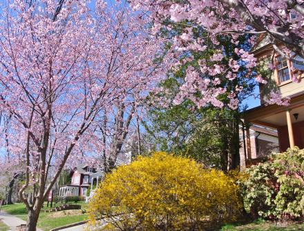 マグノリア6桜