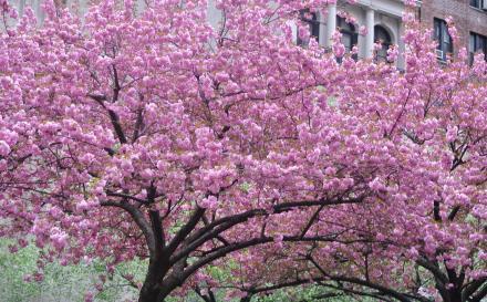 parkavenueの八重桜