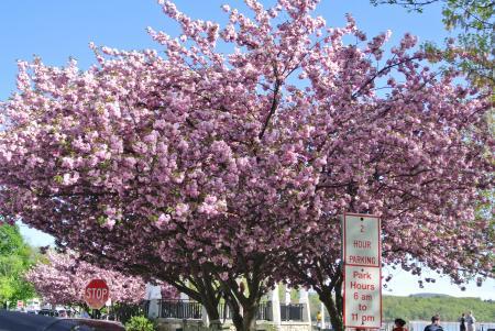 駅傍の八重桜