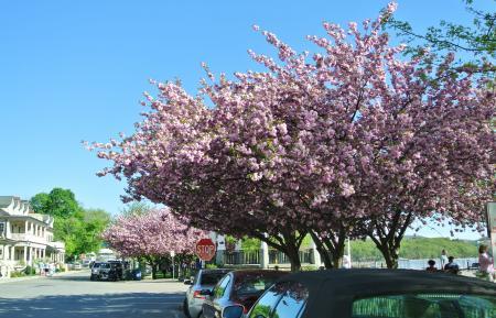駅の傍の八重桜