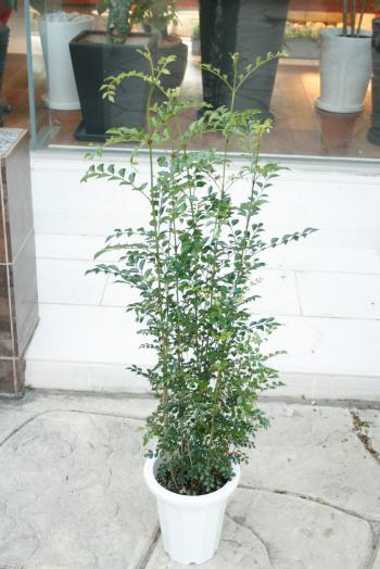 シマトネリコ4320