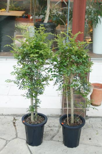 シマトネリコ5400