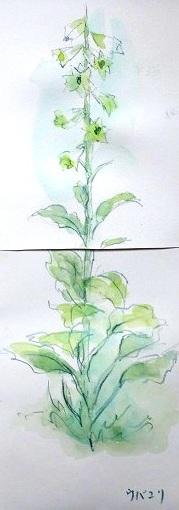 白山花スケッチ3