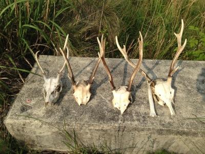 鹿、頭骨&ツノ