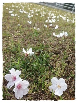 桜20140327