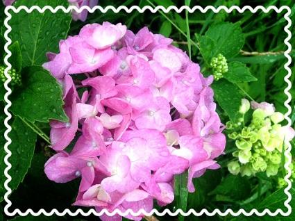 紫陽花20140604
