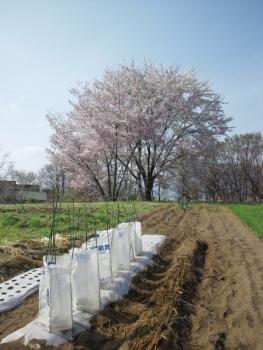 20140427春の菜園