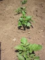 20140524ジャガイモの芽かき