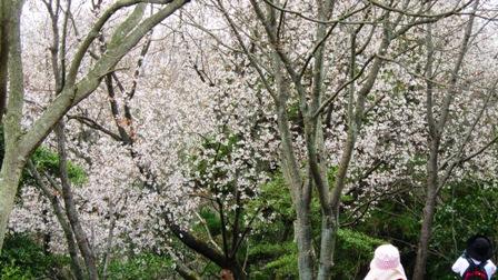 千本桜並木