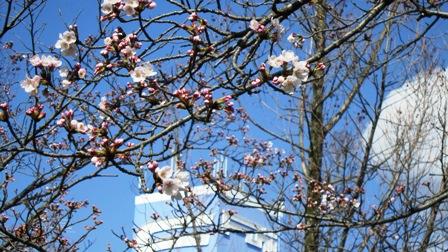 Fuji と桜